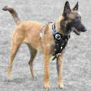 Belgian Malinois dog Harness