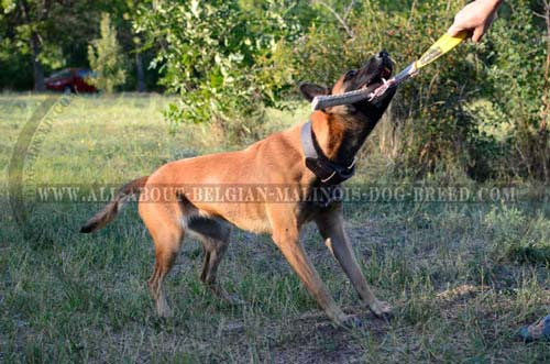 Belgian Malinois 2 Ply Leather Collar for Active Training  Work