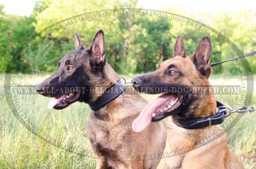 Popular Models Of Leather Dog Collars For Belgian  Malinois