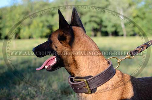 Belgian Malinois Buckled 2 Ply Leather Collar for  Handling Dog while Different Activities