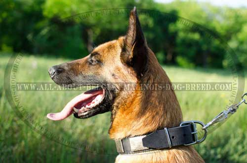 Designer Plated Leather Dog Collar for Belgian Malinois Walking