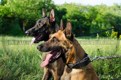 Adjustable Plated Leather Belgian Malinois Collar for Walking