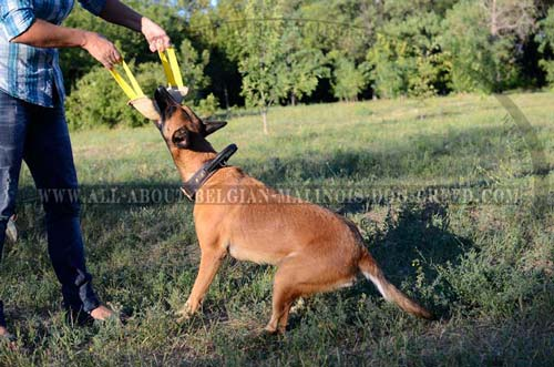 Reliable Leather Belgian Malinois Collar for Effective Training Sessions