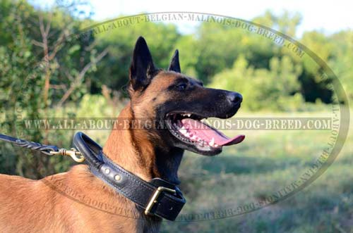 Leather Belgian Malinois Collar with Reliable Handle and D-Ring