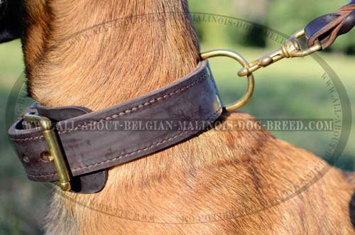 Belgian Malinois Leather Collar with Fur Saver Leather  Plate under Buckle