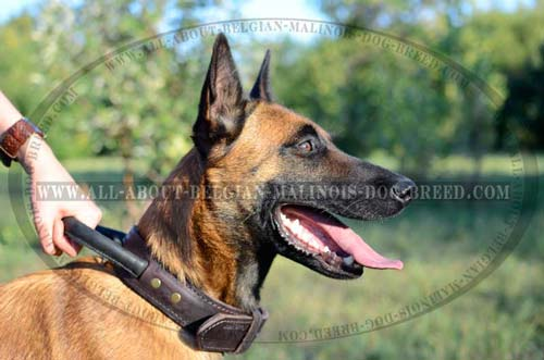 Belgian Malinois Leather Collar with Strong Padded Handle
