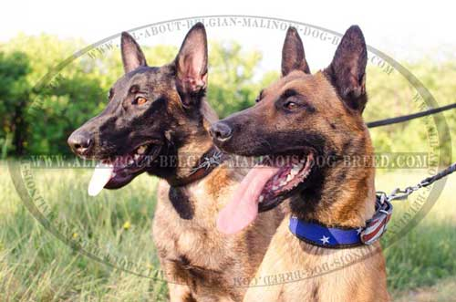 Walking Painted Belgian Malinois Dog Collars