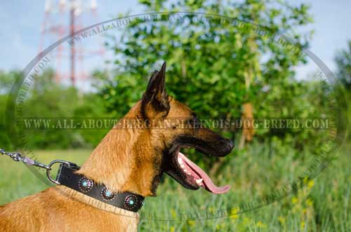 Stylish Wide Belgian Malinois Dog Collar For Walking And Training