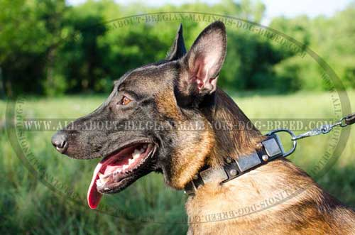 Leather Malinois Dog Collar For Handling Your Belgian  Malinois
