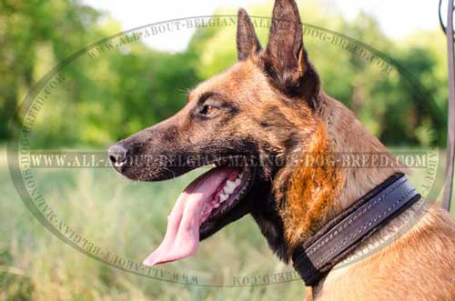Snugly Lying Leather Belgian Malinois Dog Collar For  Different Activities