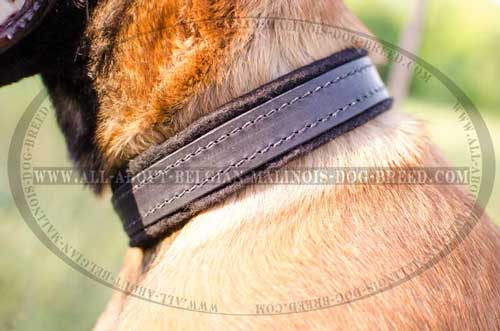 Leather Belgian Malinois Dog Collar Equipped With Nickel  Rust Resistant Hardware