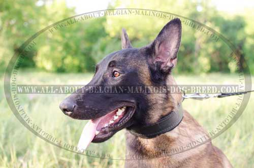 Snugly Fitting Leather Belgian Malinois Dog Collar For  Different Activities