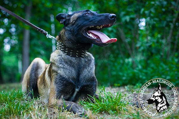 Belgian Malinois collar with nickel plated spikes