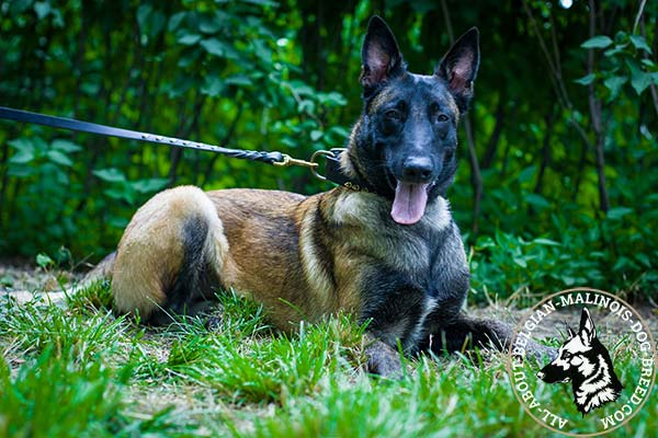 Belgian Malinois collar with strong hardware