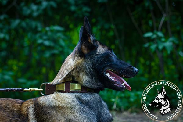 Daily Belgian Malinois leather collar with plates