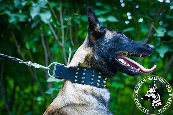 Comfy to wear Belgian Malinois leather collar