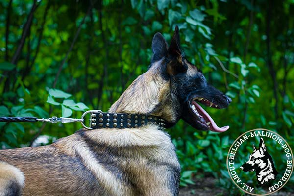 Belgian Malinois leather collar with nickel plated hardware