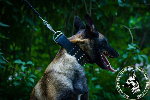 Belgian Malinois collar with secure buckle