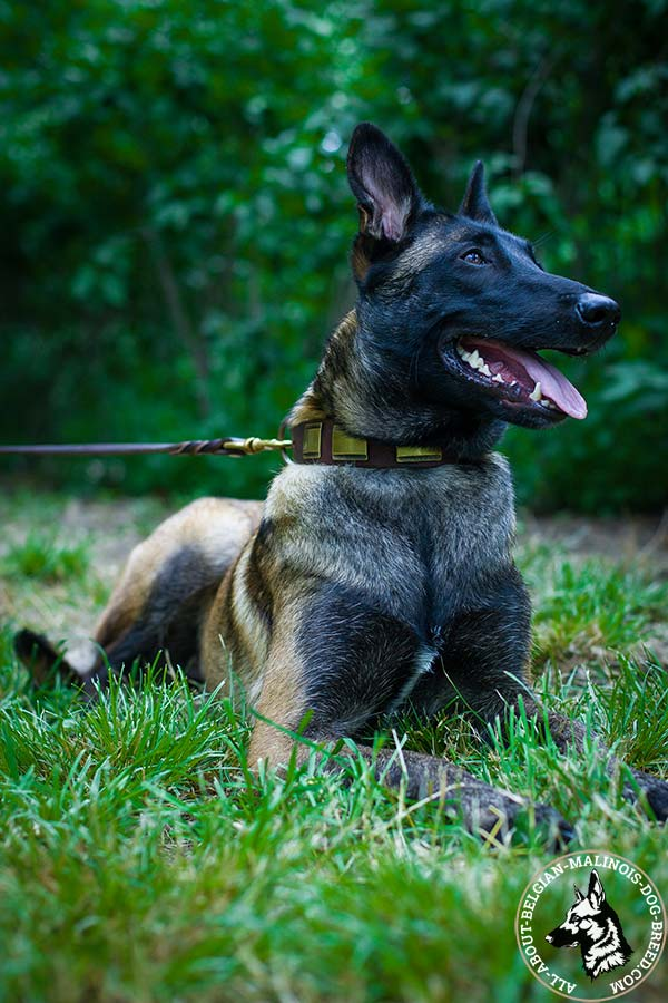 Belgian Malinois collar for cool look