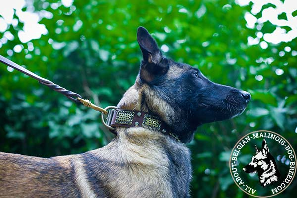 Belgian Malinois collar with brass plates and nickel cones