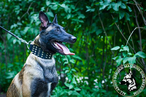Belgian Malinois collar with nickel plated spikes and pyramids