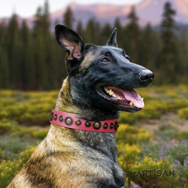 Belgian Malinois comfortable wearing genuine leather collar for your handsome four-legged friend