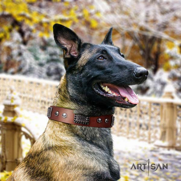 Belgian Malinois comfortable wearing full grain natural leather collar for your beautiful four-legged friend