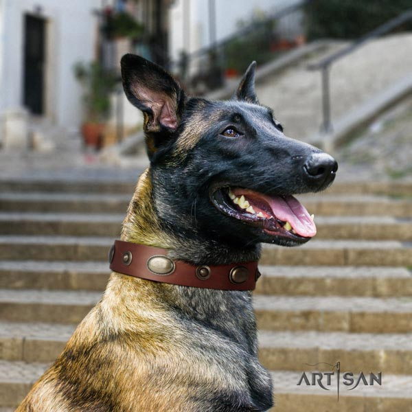Belgian Malinois comfortable wearing genuine leather collar for your beautiful doggie