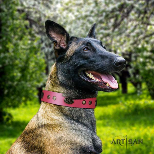 Belgian Malinois comfortable wearing full grain leather collar for your beautiful doggie