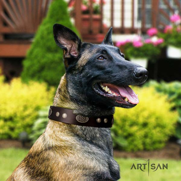 Belgian Malinois comfy wearing full grain genuine leather collar for your impressive doggie