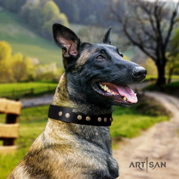 Belgian Malinois comfortable wearing leather collar for your lovely pet