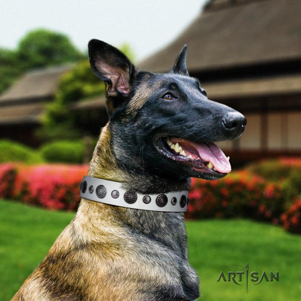 Belgian Malinois comfortable wearing full grain leather collar for your handsome doggie