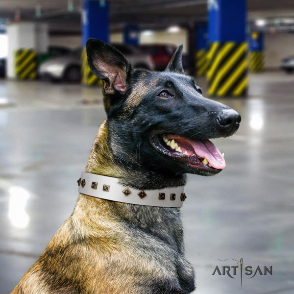 Belgian Malinois comfy wearing genuine leather collar for your handsome pet