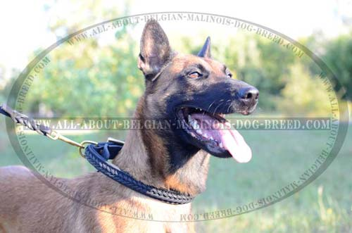 Belgian Malinois in Braided Leather Collar while Daily  Walking