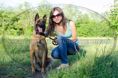 Belgian Malinois in Classic Design Leather Collar  Walking