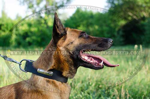 Belgian Malinois in Leather Collar with Dog  Identification Plate