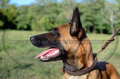 Belgian Malinois in Two Ply Leather Dog Collar Reliable  for Dog Control