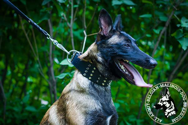Belgian Malinois black leather collar snugly fitted with quick release buckle for walking