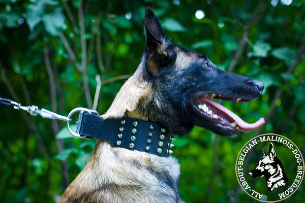 Belgian Malinois black leather collar with elegant studs for stylish walks