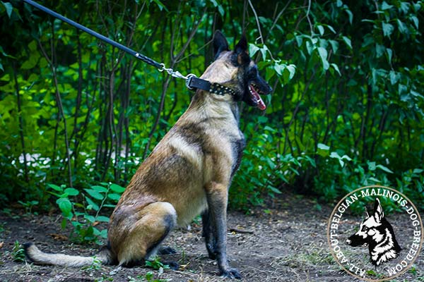 Belgian Malinois black leather collar of genuine materials decorated with studs for stylish walks