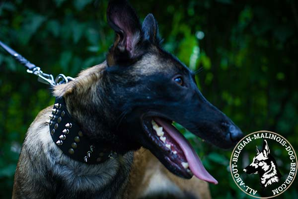 Belgian Malinois black leather collar with rust-resistant fittings for basic training