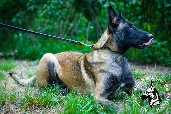Belgian Malinois black leather collar of classic design with half-balls for stylish walks