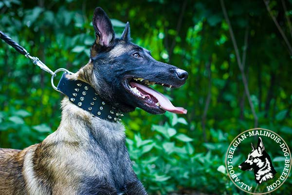 Belgian Malinois black leather collar of classic design with d-ring for leash attachment for improved control