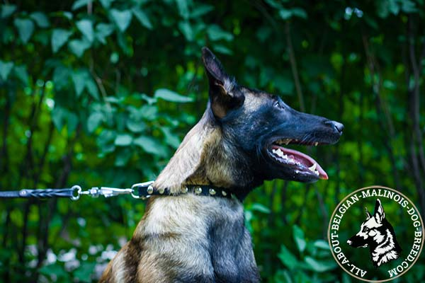 Belgian Malinois black leather collar of classic design decorated with half-balls for daily walks
