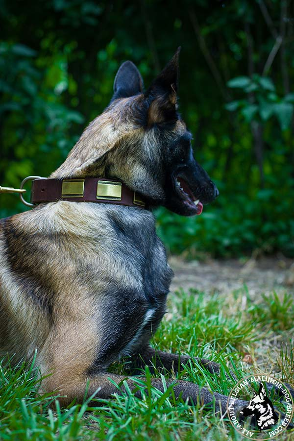 Belgian Malinois brown leather collar with elegant plates for daily walks