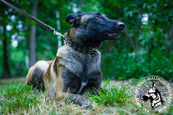 Belgian Malinois brown leather collar with non-corrosive fittings for basic training