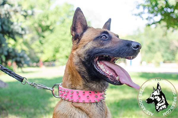 Pink Belgian Malinois collar with silvery spikes