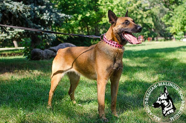 Walking pink Belgian Malinois collar