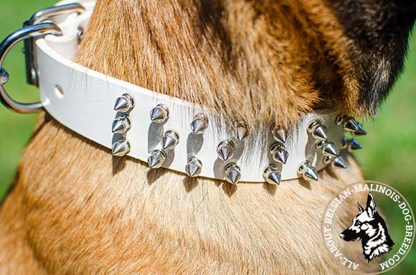White Belgian Malinois collar with polished surface