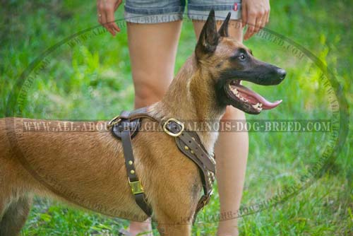 Easily Adjustable Leather Belgian Malinois Harness for Walking